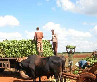 Crecen envíos de productos agrícolas a provincias afectadas por Sandy